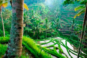 TERRACED RICE PADDY, UBUD AREA, BALI, INDONESIA