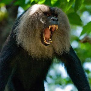 Macaque Monkey King credit animalsversesanimals.yuku.com